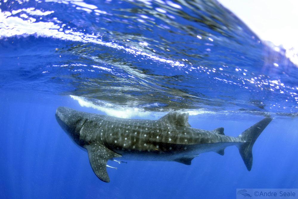 Sexta Sub - Proteção aos tubarões migratórios no mundo todo