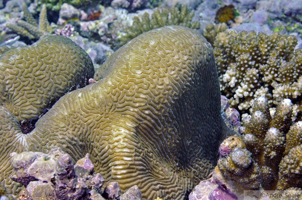 Coral cérebro - Wallis Island