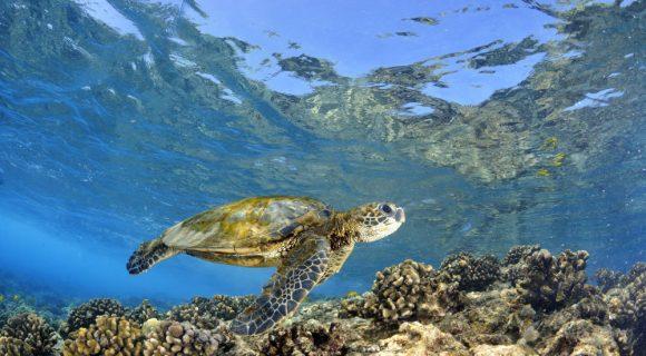 Sexta Sub: cadê os machos de tartaruga?
