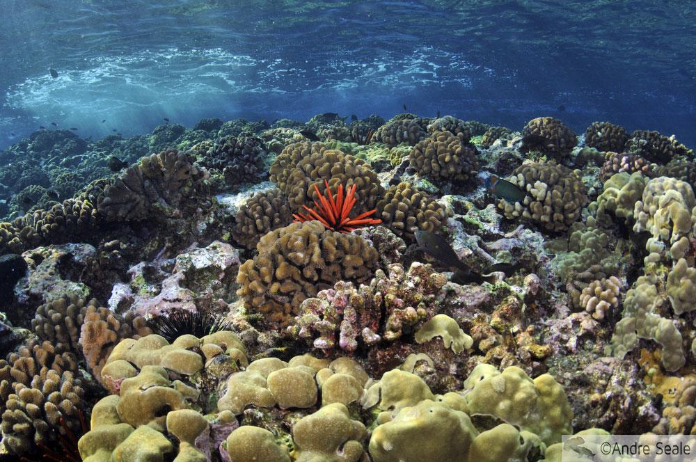 Ouriço-lápis-vermelho em meio aos corais de Molokini - Maui - Havaí