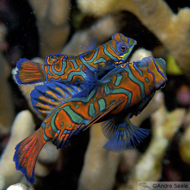Amor mandarim de carnaval - casal de peixe-mandarim