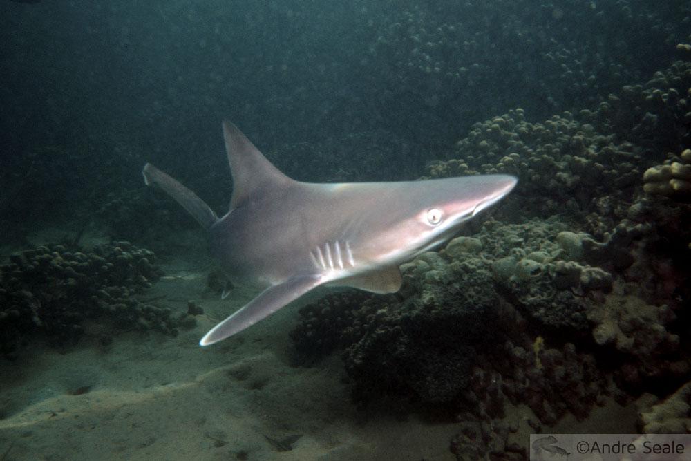 Dia Mundial da Vida Selvagem - tubarão-galhudo