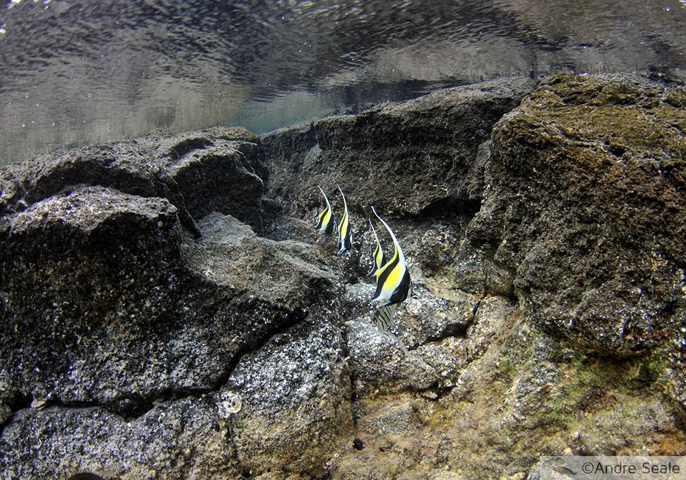 Peixes ídolo-mourisco