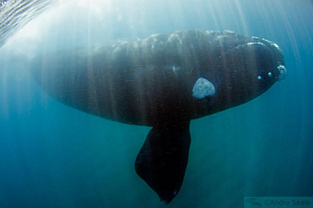 Mergulho do Sardine Run - baleia franca