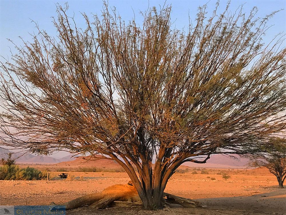 Árvore - Deserto da Namíbia