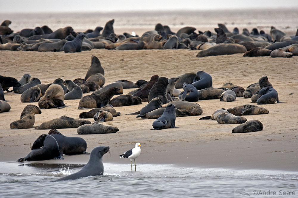 Colônia de focas-do-Cabo