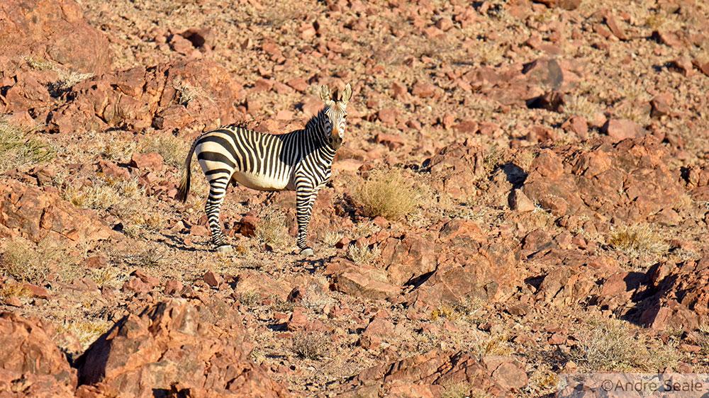 Zebra - Sesriem - Namíbia