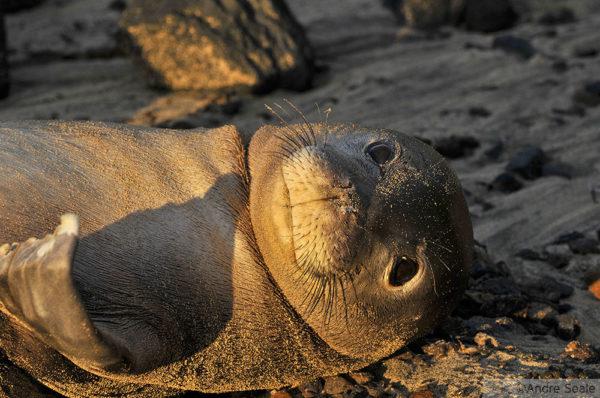 Hawaii - foca havaiana
