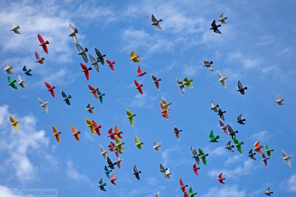 Pombos coloridos - Molokai