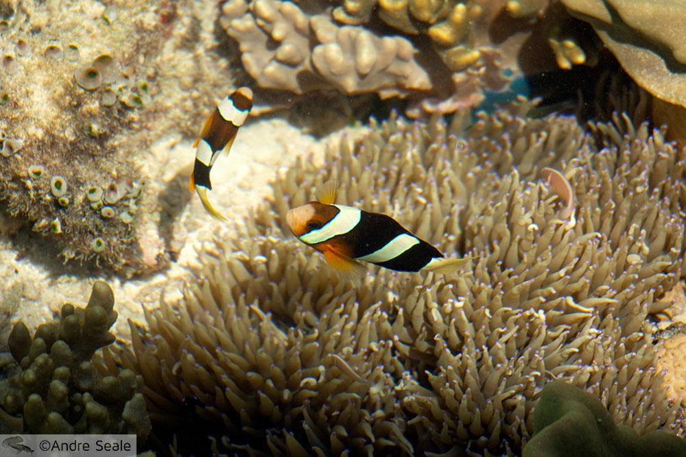 Peixe-palhaço - Kapalai Dive Resort - Malásia
