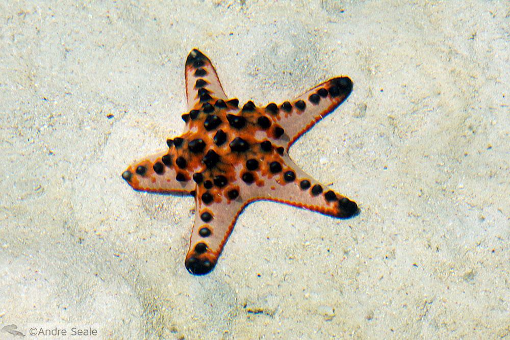 Estrela do mar  - Kapalai Dive Resort