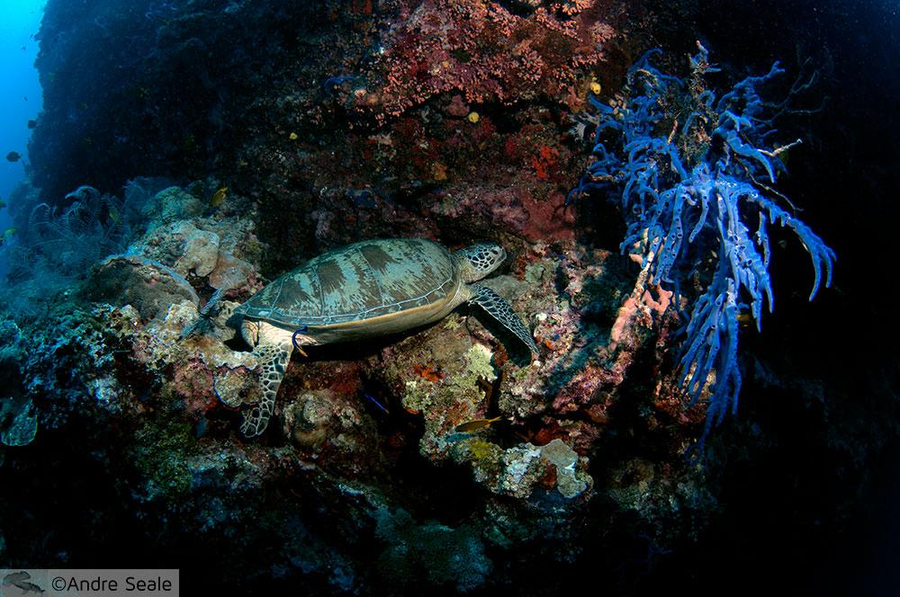 Tartaruga - Mergulho em Sipadan