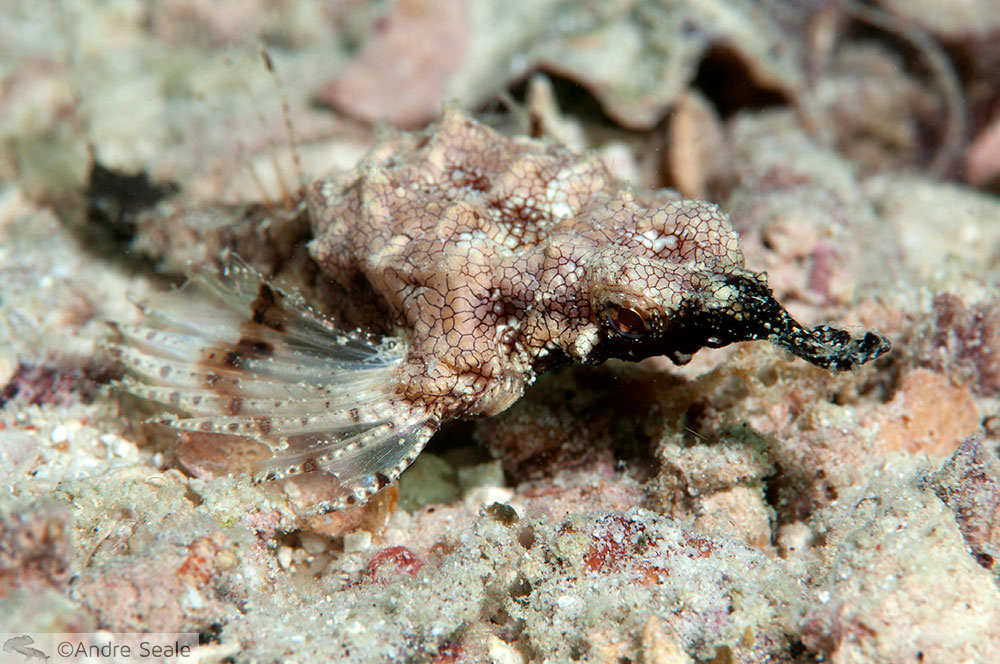Peixe-dragão no mergulho em Sipadan