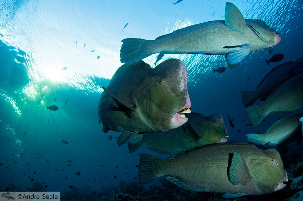 Bumphead parrotfishes - Sipadan - Malásia