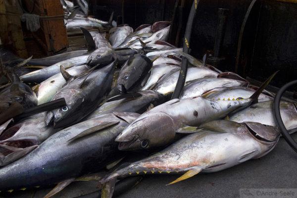Pesca no Atlântico Norte brasileiro - atum