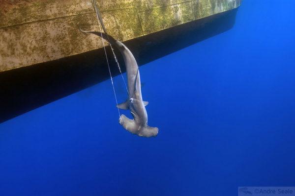 Pesca no Atlântico Norte brasileiro - tubarão-martelo