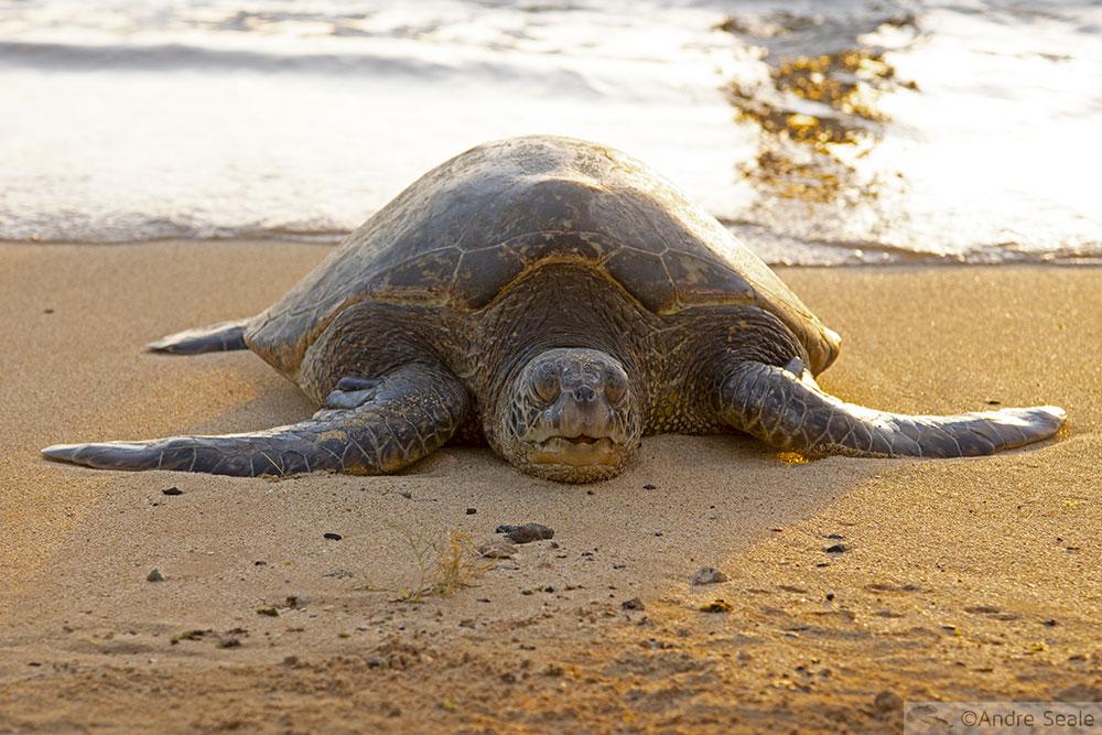 Tartaruga marinha - Kauai