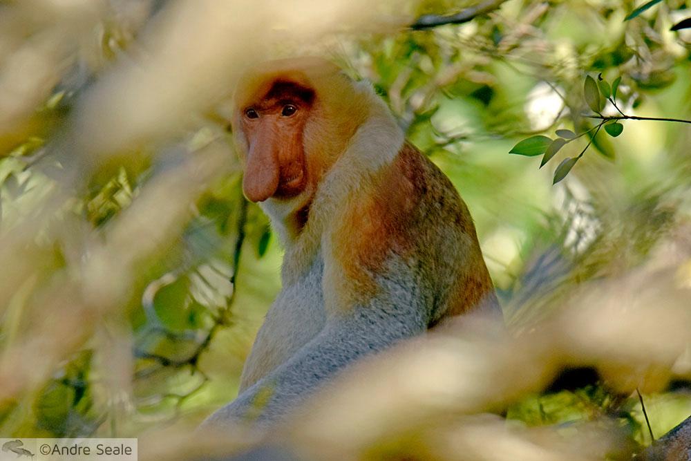 Roteiro em Brunei - macaco narigudo