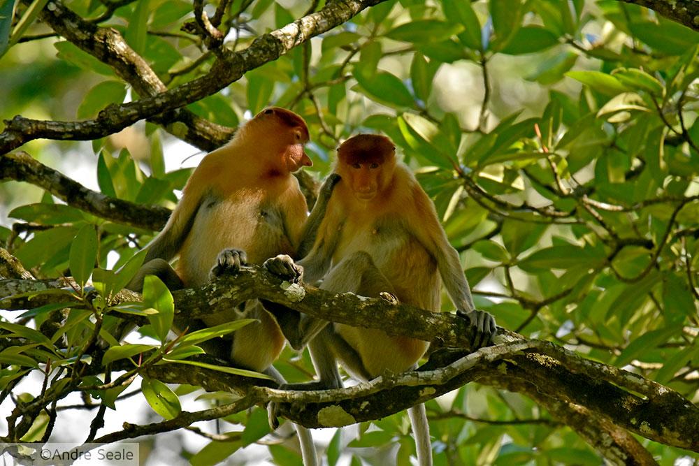 Macaco narigudo - Roteiro em Brunei