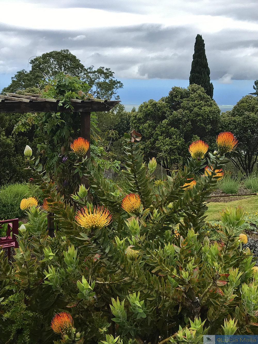 Flores - Maui