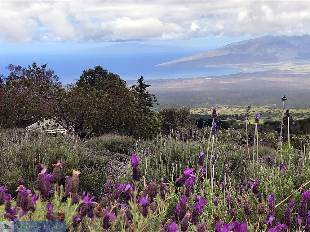 Vista de Maui da fazenda de lanvanda em Kula
