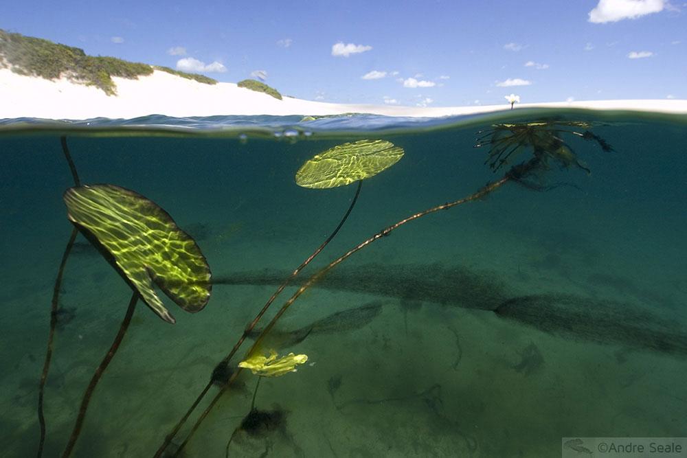 Vegetação de lagoa - Lençóis Maranhenses