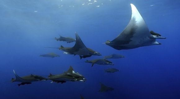 Raias – dóceis criaturas do mar