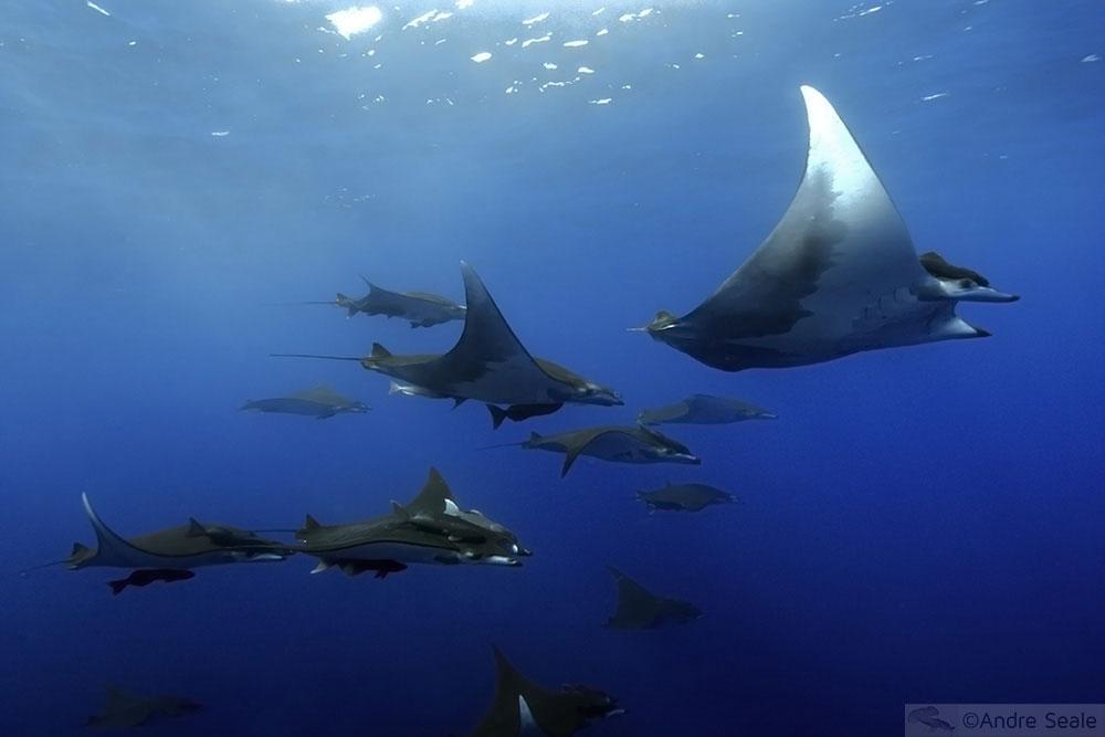 Raias móbulas - criaturas do mar