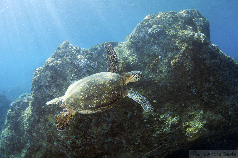 Tartaruga-verde no canto direito de Waimea Bay - North Shore de Oahu