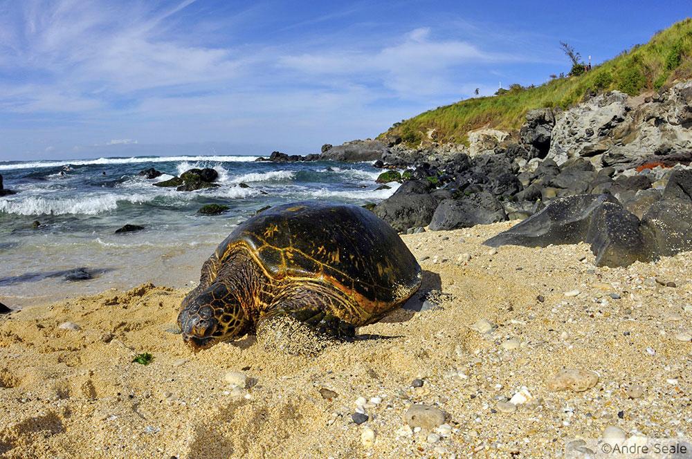 Tartaruga verde - Hookipa Beach - Maui - Havaí