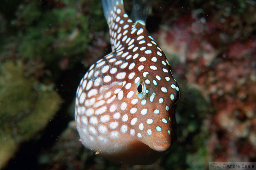 Peixe endêmico - Makena Landing - Maui