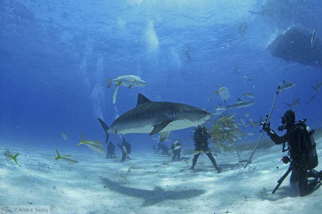 Tubarão-tigre Emma - Tiger Beach - Bahamas