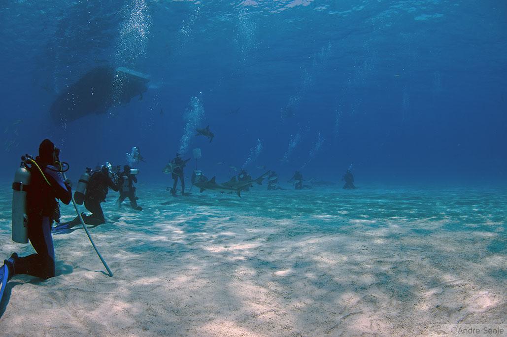 Arena para o mergulho com o tubarão-tigre - Bahamas