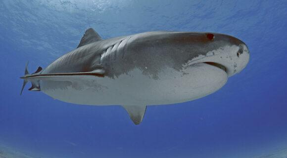 Mergulho com o tubarão-tigre nas Bahamas