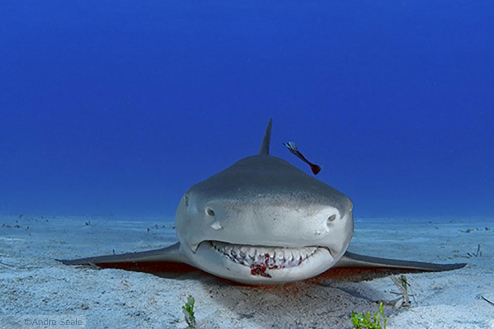 Mergulho com o tubarão-tigre - Bahamas