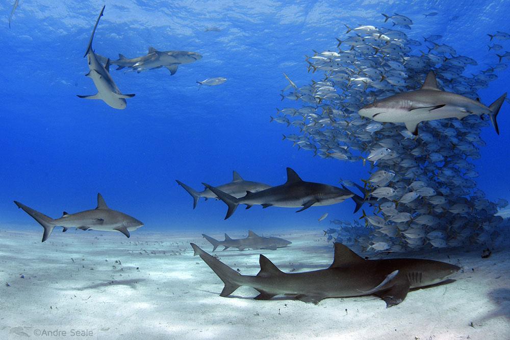Tubarões nas Bahamas - Tiger Beach