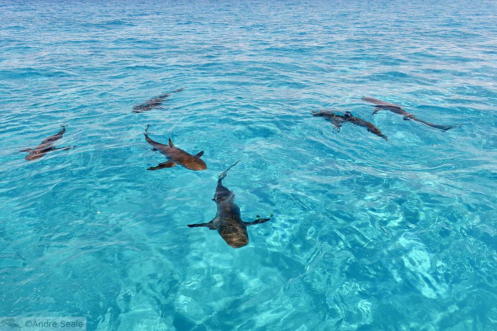 Tubarões nas Bahamas