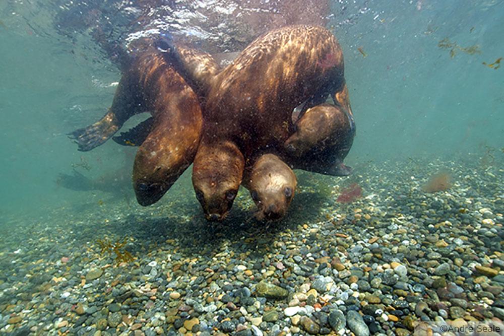Mergulho na Argentina - América do Sul - leões marinhos da Patagônia