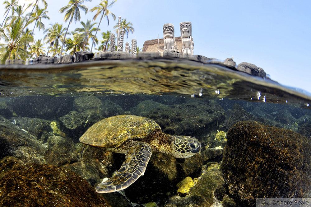 Mergulho no Havaí - Tartaruga ver em Honaunau - Big Island