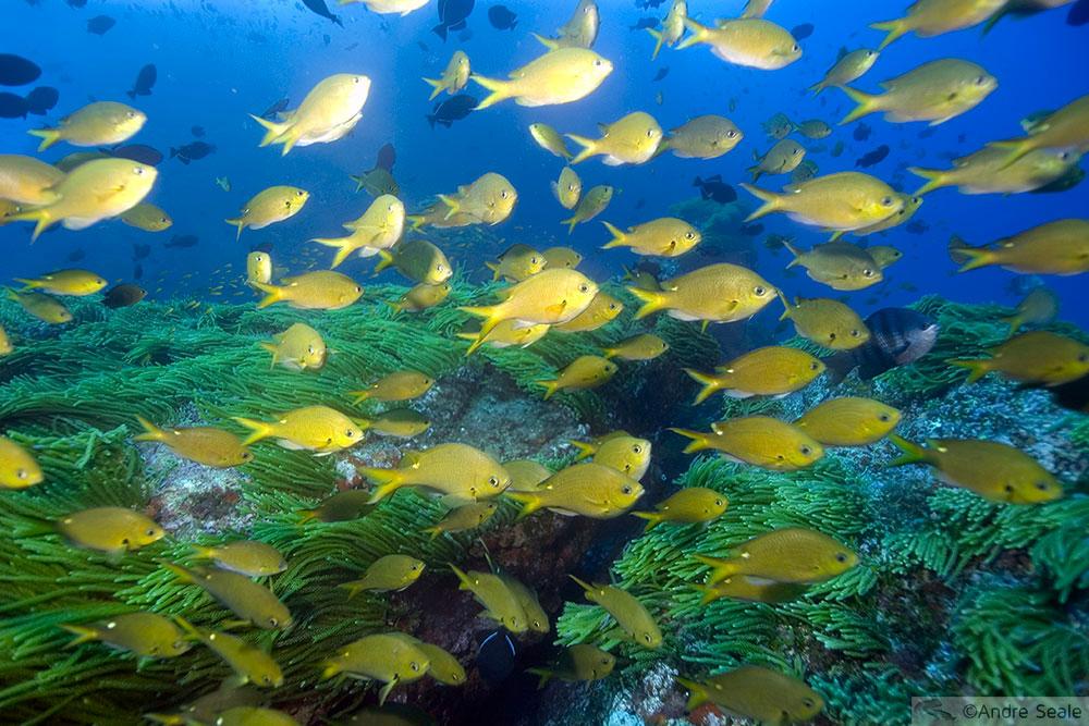 Mergulho no Brasil - verde e amarelo subaquático