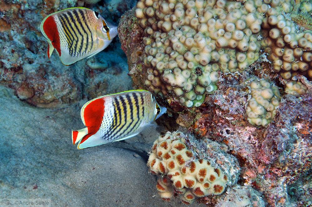 Peixe-borboleta da Eritrea - Chaetodon paucifasciatus - Mar Vermelho