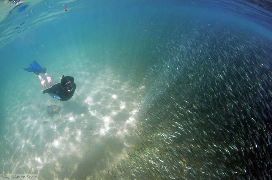 Cardume de peixinhos halalu em Kaimana Beach - Waikiki - Havaí - 16 anos do blog Uma Malla pelo mundo
